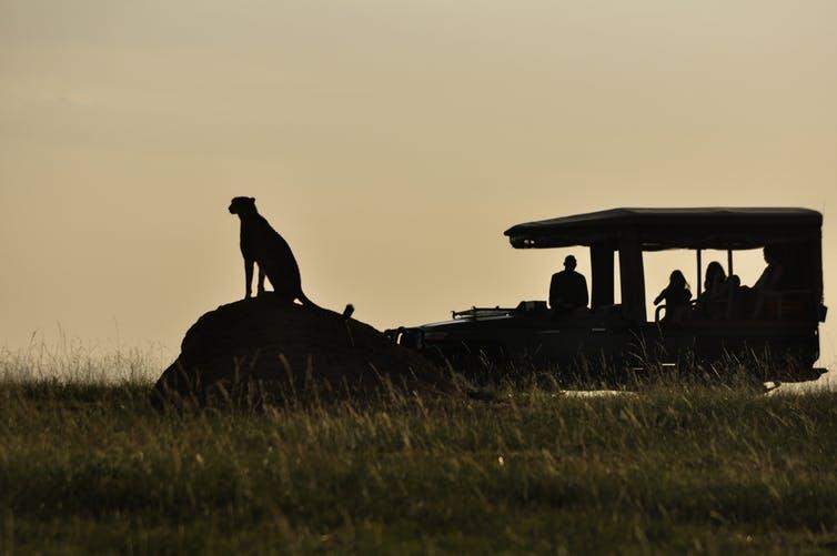 cheetahs tourism