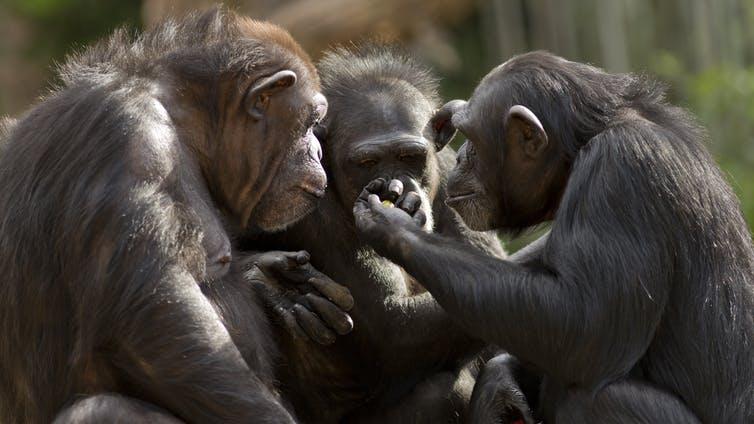 apes talking