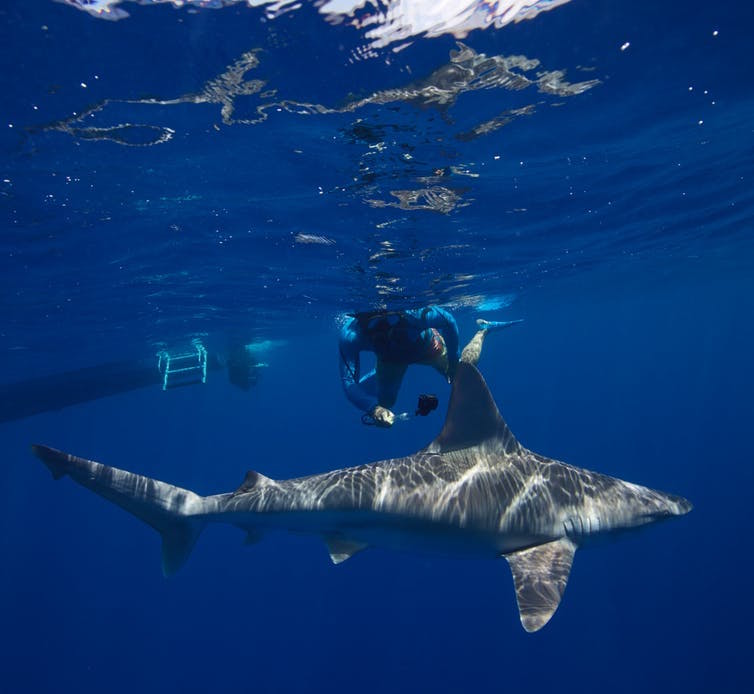 shark tourism conservation