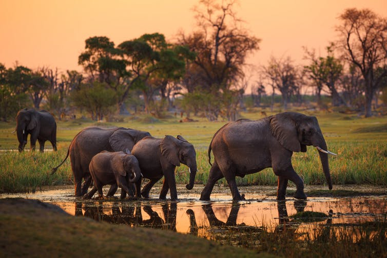 botswana elephants conservation