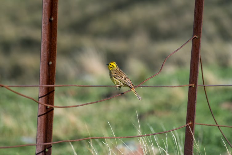 yellowhammer brexit