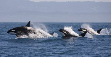 killer whales pollution pcb