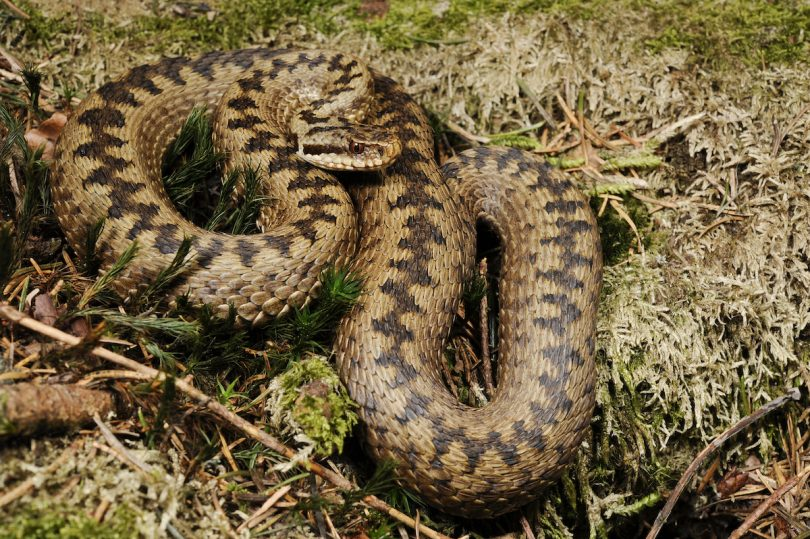 Vipera berus adder research ranging translocations mitigation