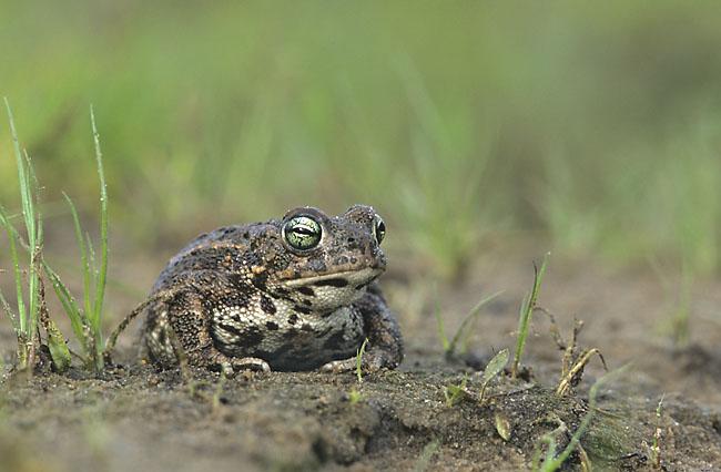amphibians salt tolerance