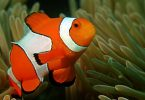 clown fish research stripes