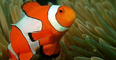 clown fish research stripes