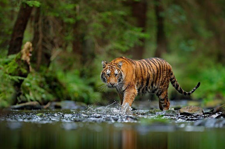 tiger sub species