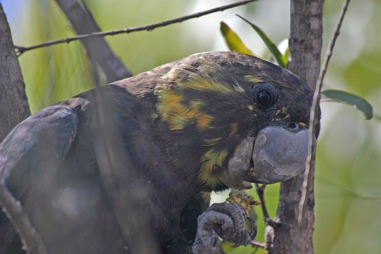 australian birds conservation