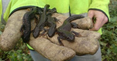 district licensing great crested newt