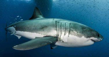 great white shark genome