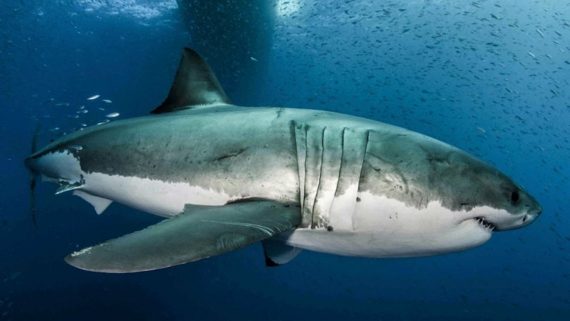 great white shark genome