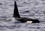 white shark orca interaction