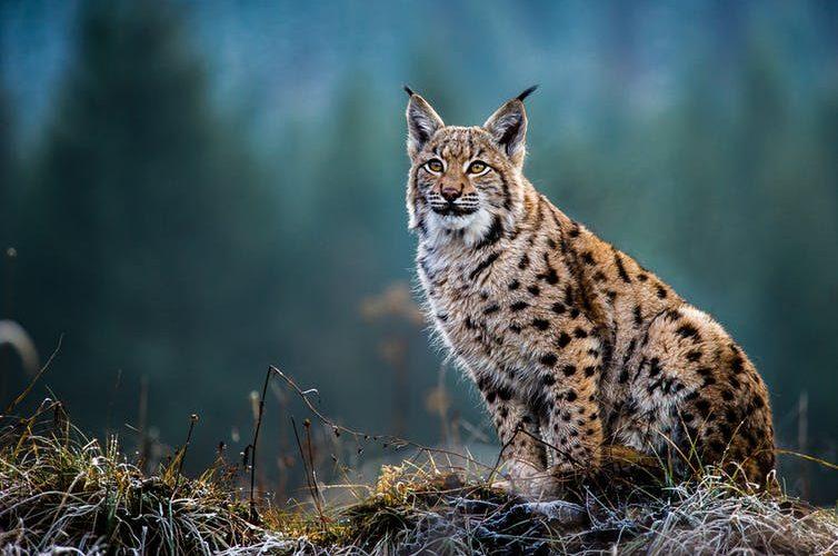 lynx scotland