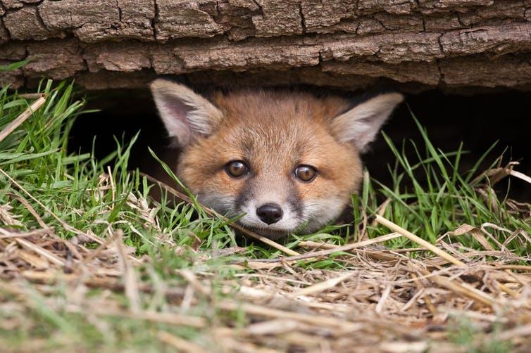 camera traps Britain's mammals