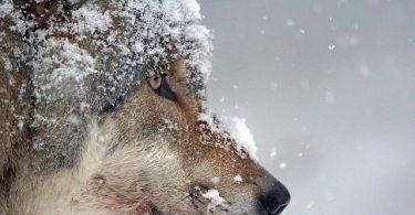 wolf Scandinavian